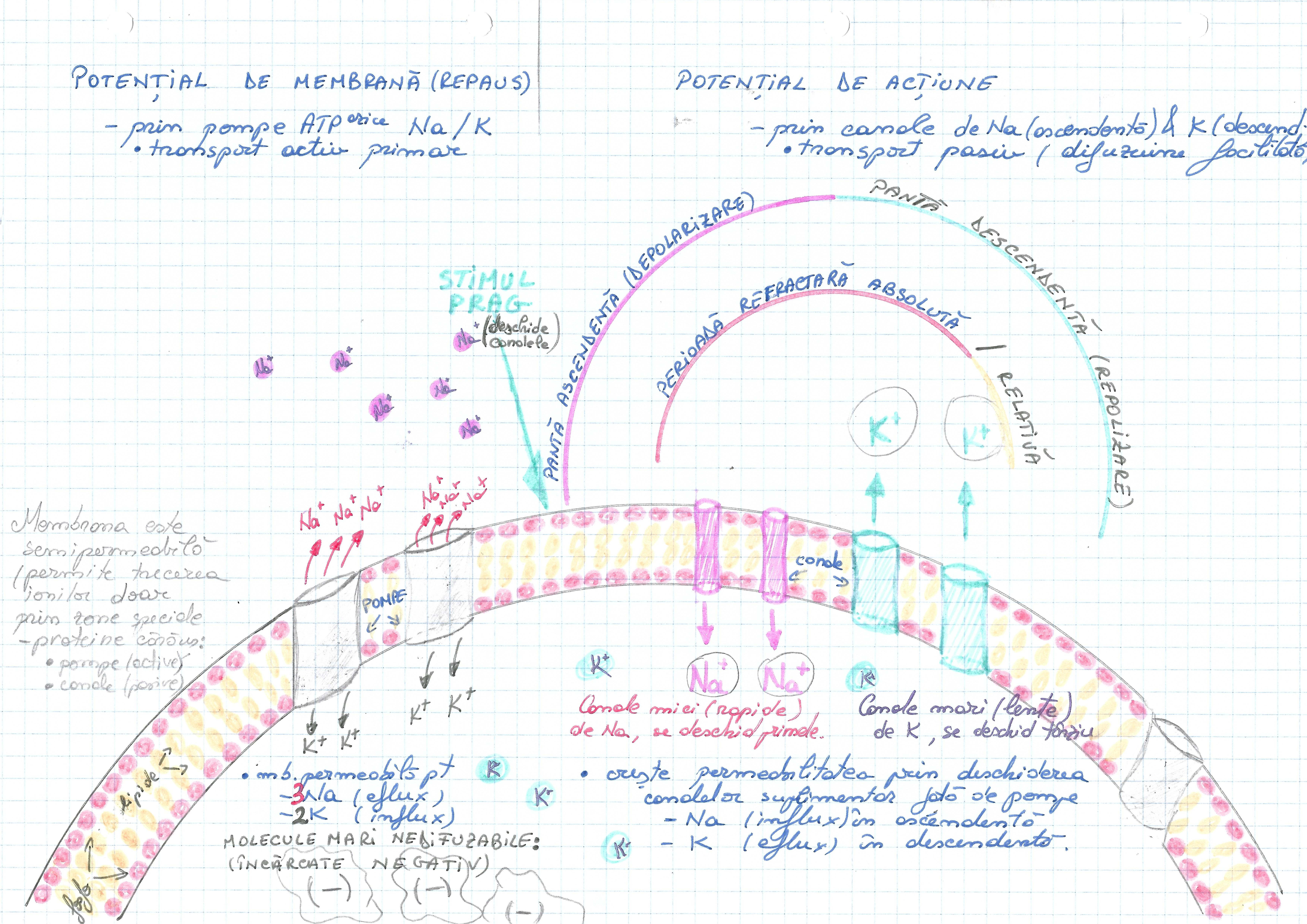celula-potential de membrana